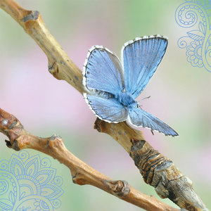 Blanco - vlinder